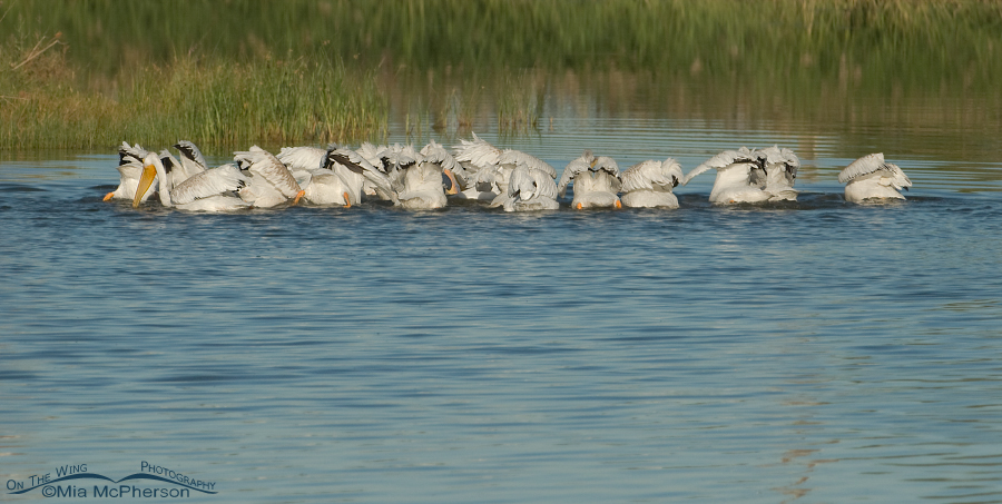 American White Pelicans feeding, back view