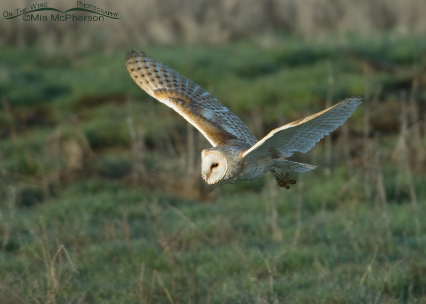 Adult Barn Owl in early morning light