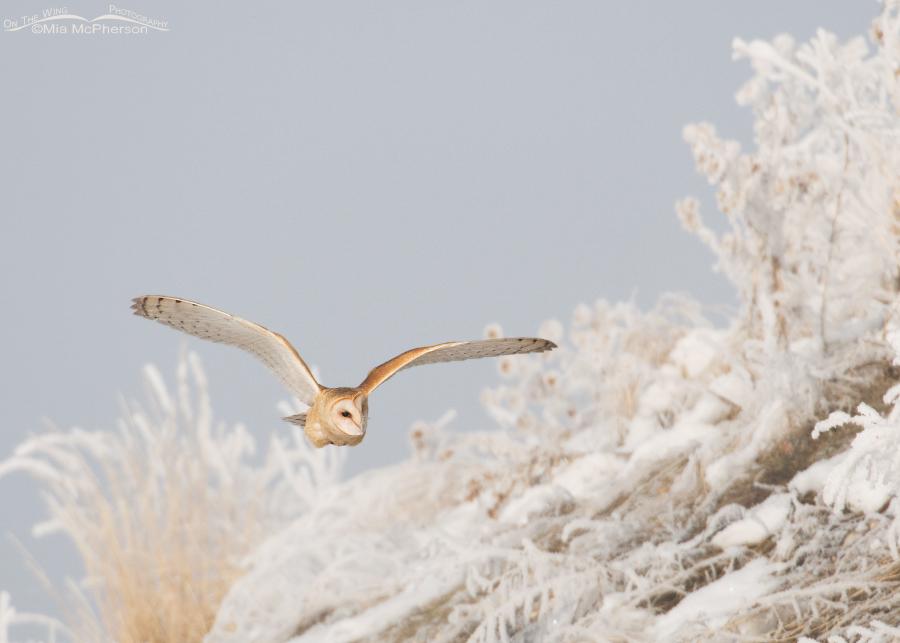 Barn Owl flying near a hill