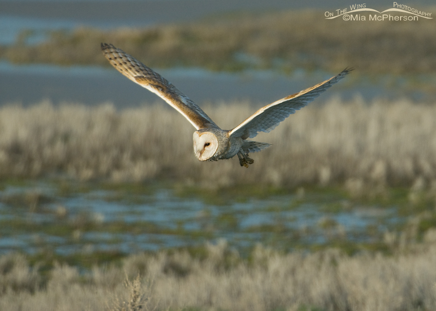 Utah Barn in flight over a marshy area