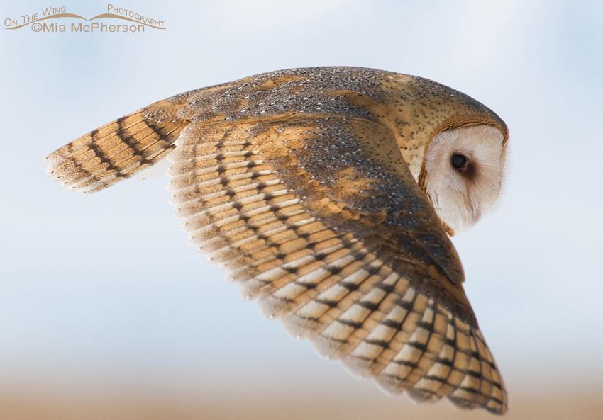 Barn Owl Close up