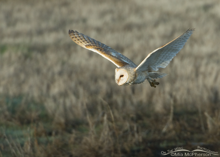 Barn Owl adult in flight