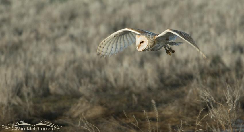 Barn Owl flight pano