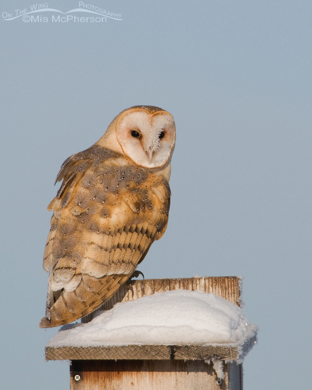 Barn Owl perched on a Kestrel nestbox