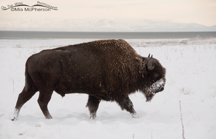 Bison bull in the snow