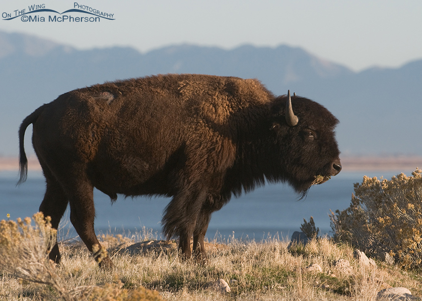 Bison in front of the Wasatch Range