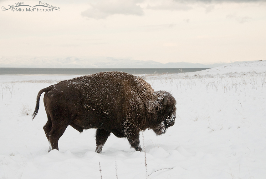 Bison bull on a snowy winter day