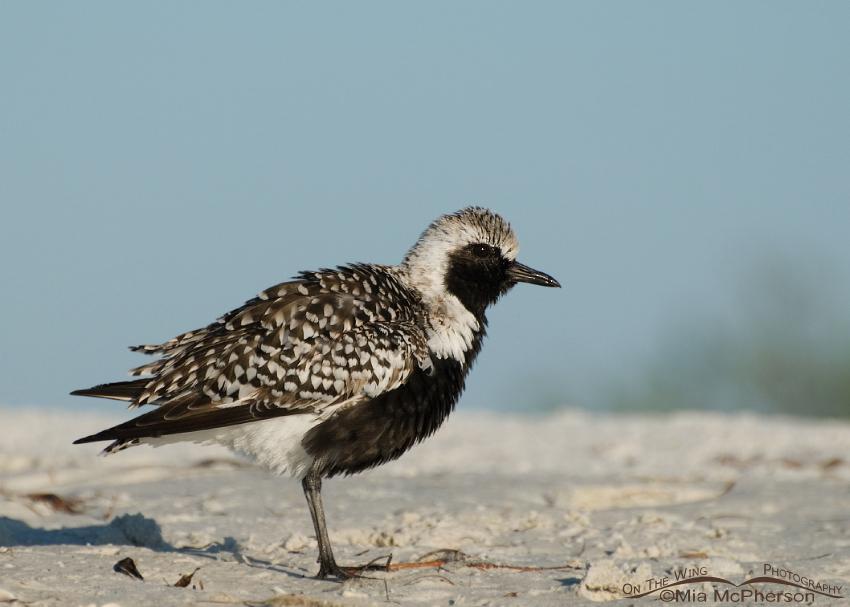 Black-bellied Plover in (near) breeding plumage
