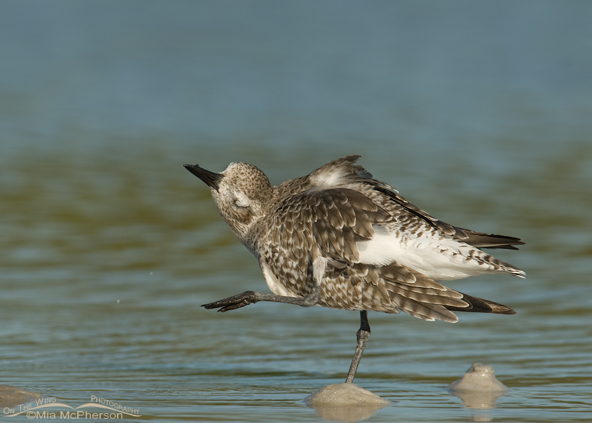 Funny Black-bellied Plover