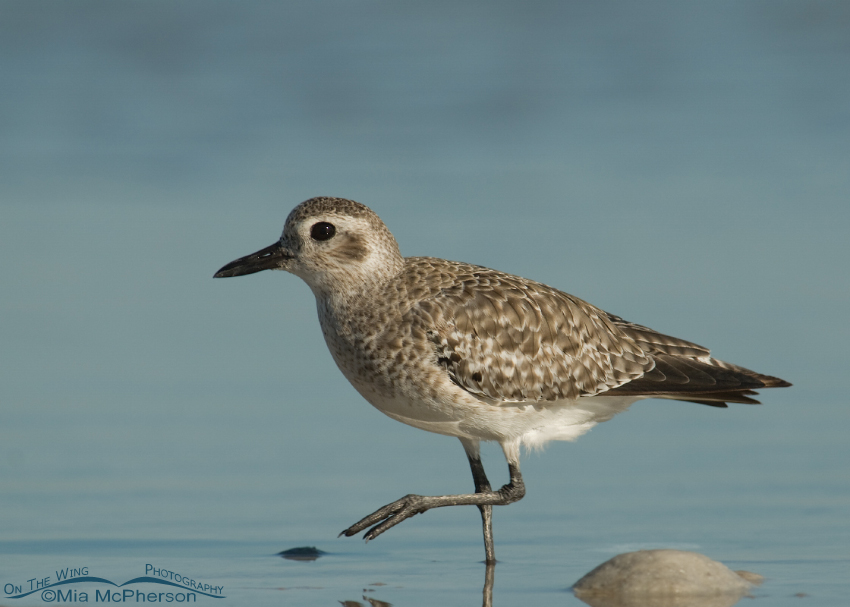 Black-bellied Plover in nonbreeding plumage