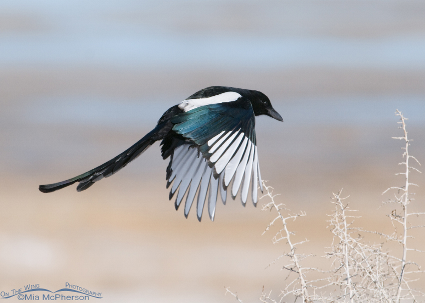 Black-billed Magpie flying towards the nest