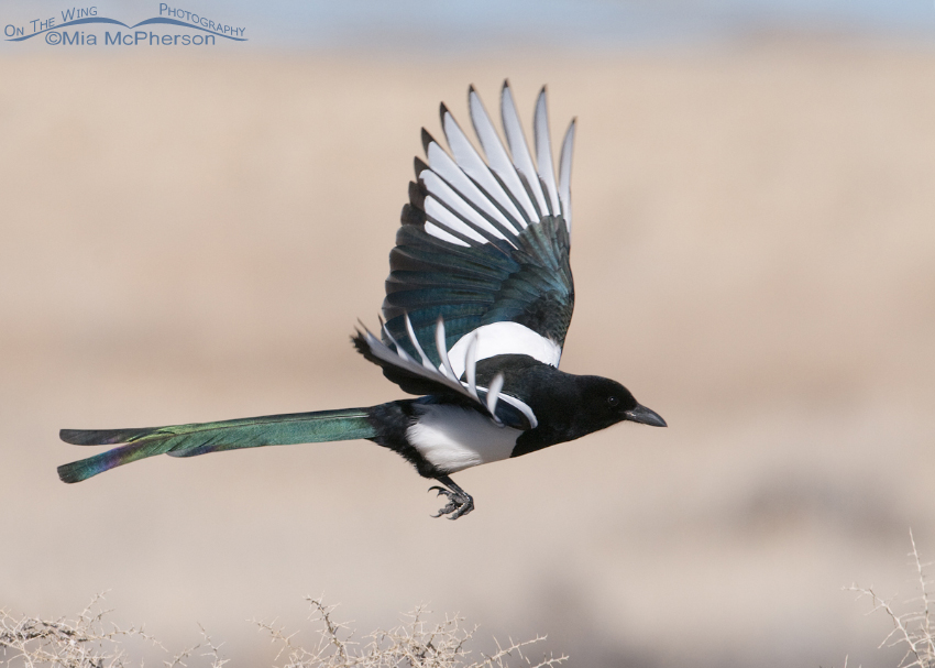 Black-billed Magpie just after lift off