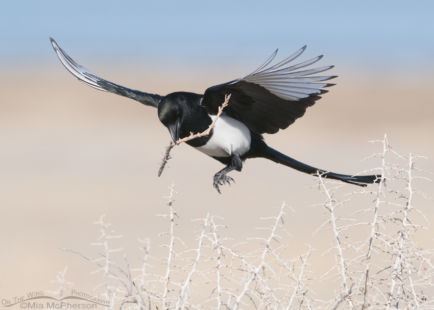 Black-billed Magpie coming in with nesting material