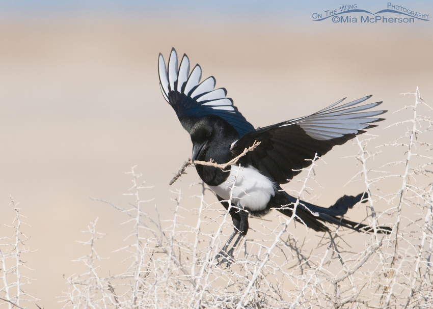 Black-billed Magpie landing with nesting materials
