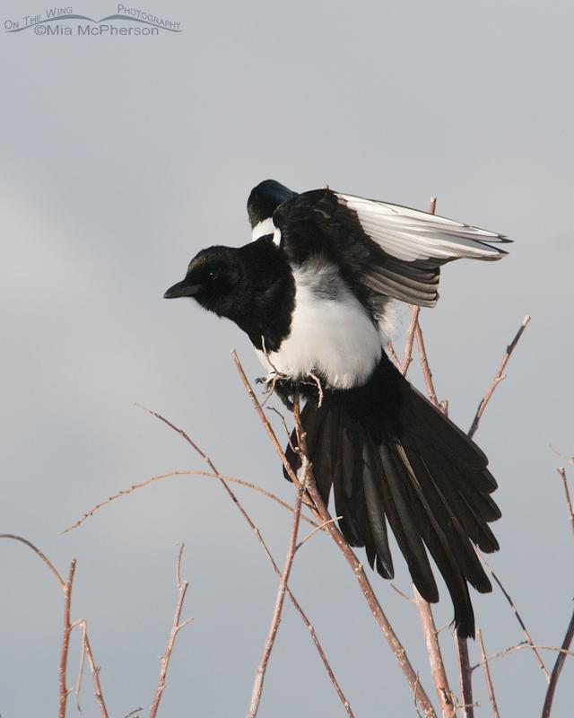 Black-billed Magpie stretching