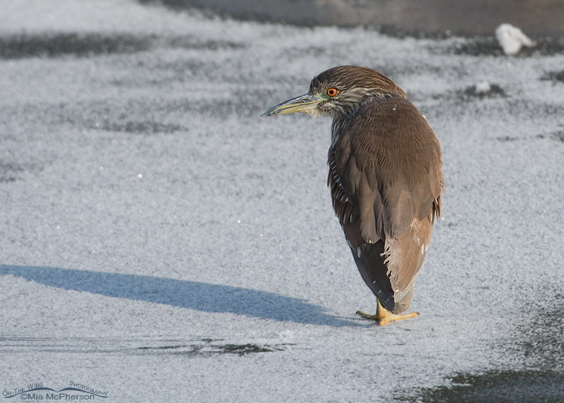 Young Black-crowned Night Heron on ice