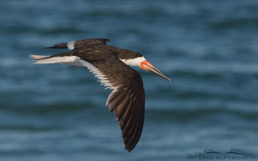 Adult Black Skimmer in flight
