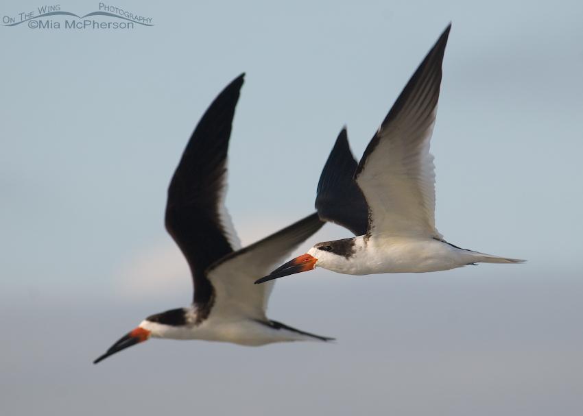 Black Skimmers in Flight