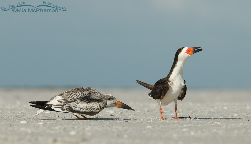 Black Skimmer adult and juvenile