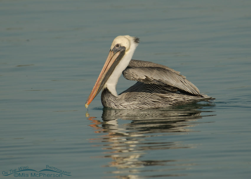 Adult Brown Pelican about to lift off