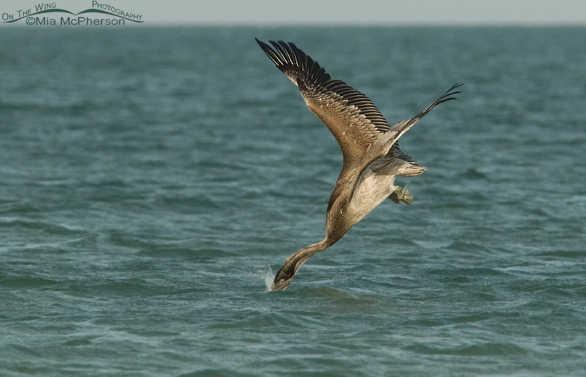 Brown Pelican hitting the water head first