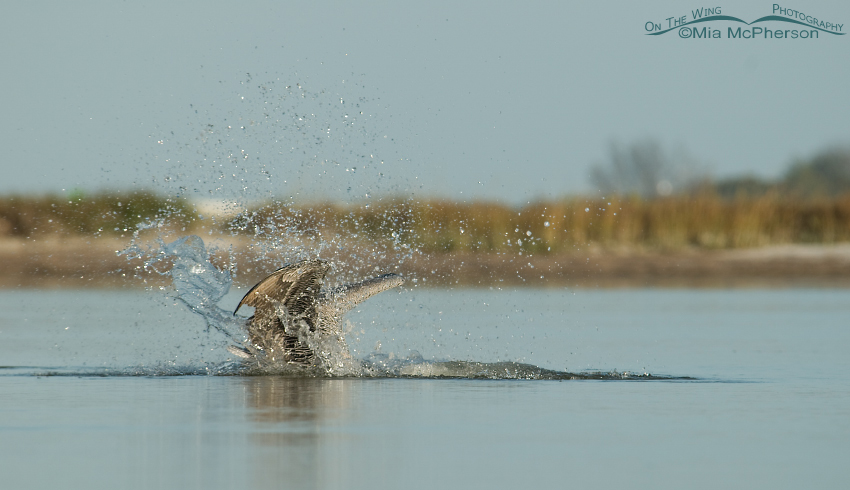 Brown Pelican splash down in a tidal lagoon