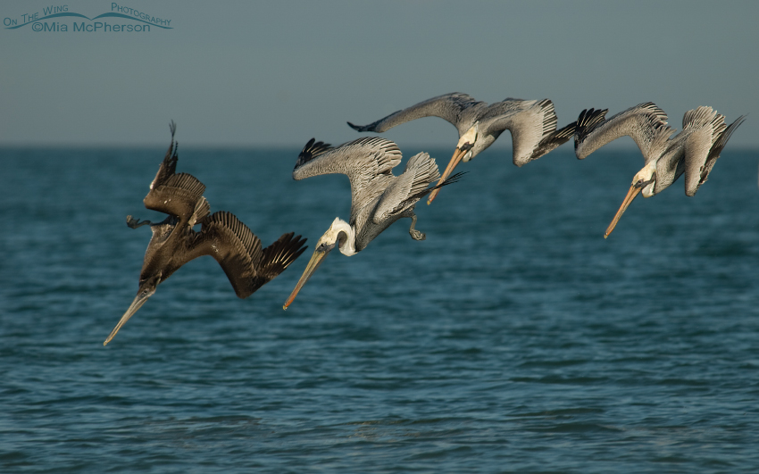 Brown Pelicans about to splash down