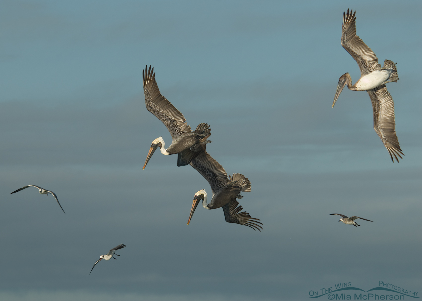 Feeding Brown Pelicans over the Gulf of Mexico