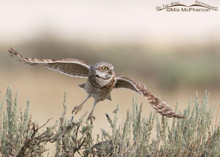 Adult Burrowing Owl lifting off