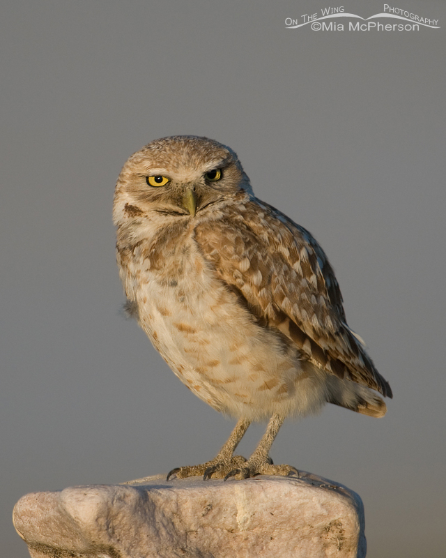Perched adult western Burrowing Owl