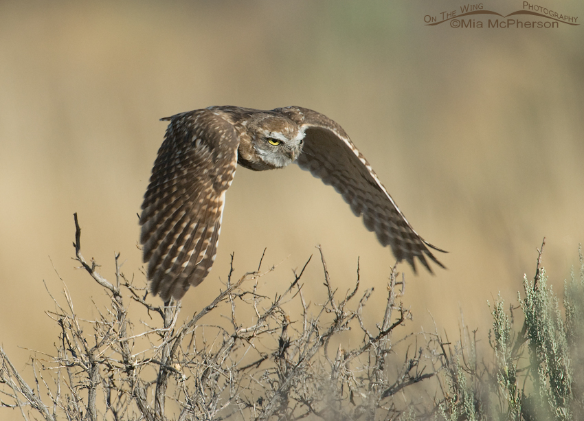 Juvenile Burrowing Owl in flight