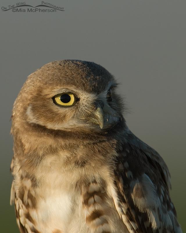 Juvenile Burrowing Owl Portrait