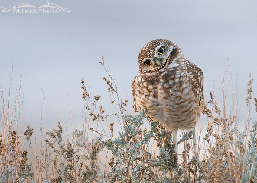 Burrowing Owl in low light