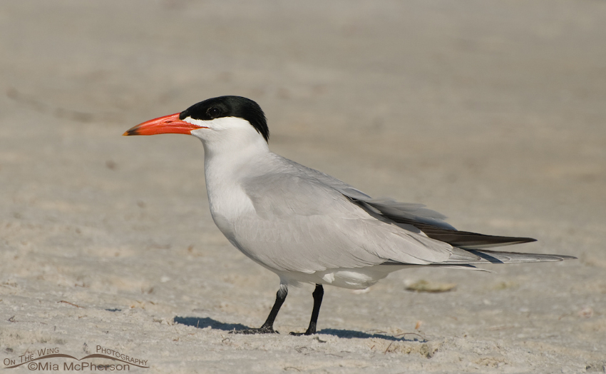 Caspian Tern on a mudflat