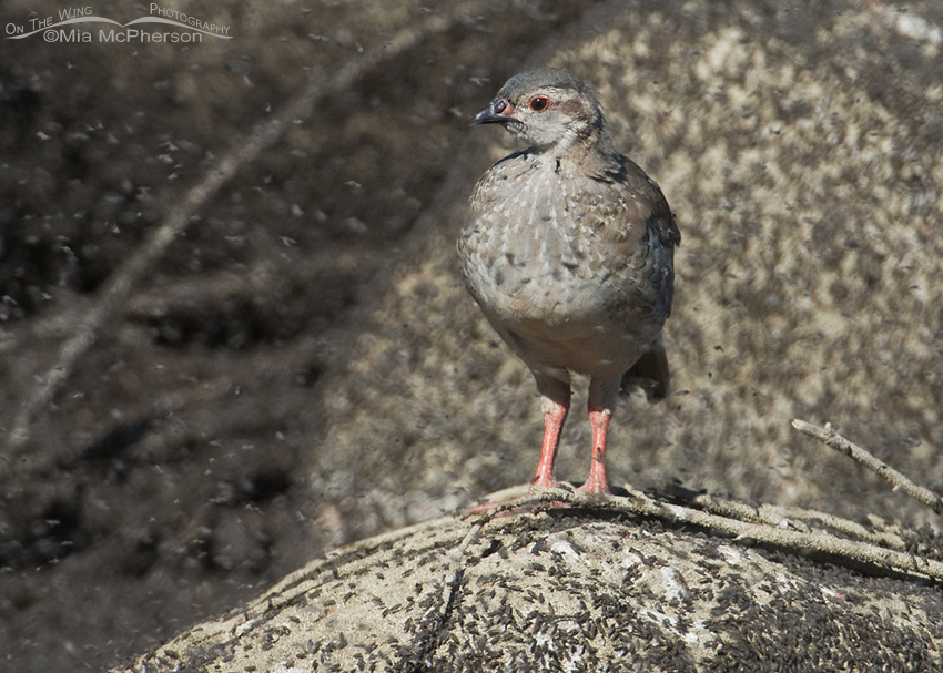 Chukar chick surrounded by Brine Flies