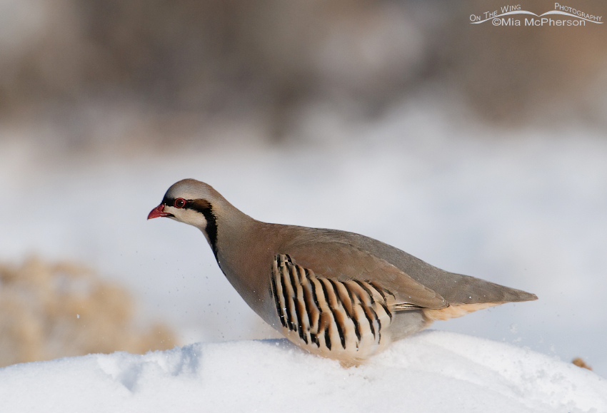 Nervous Chukar in the snow