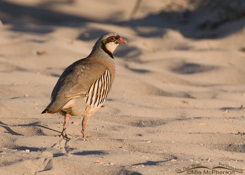 Chukar walking on the Oolitic sand dunes of the Great Salt Lake