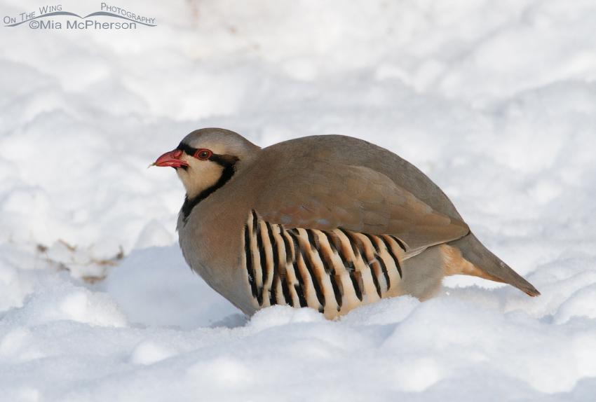 Chukar in the snow