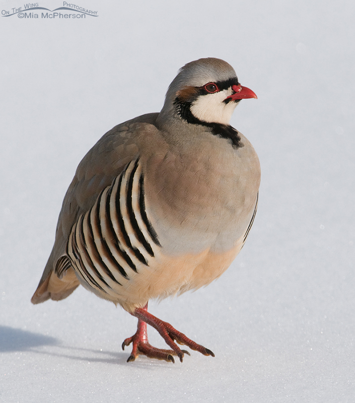 Close up Chukar in the snow - Taken January 31, 2013