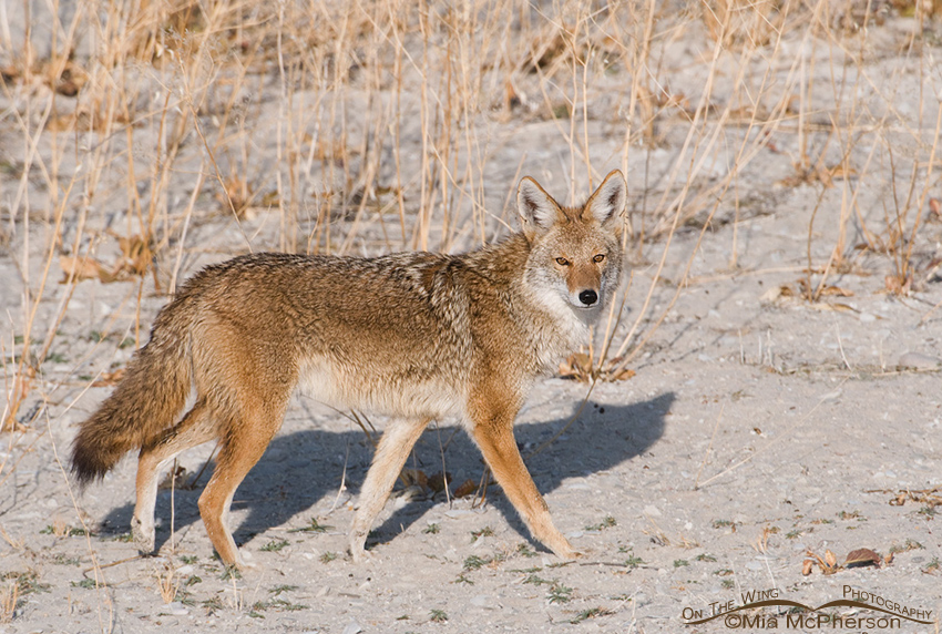 Coyote on a Great Salt Lake Beach