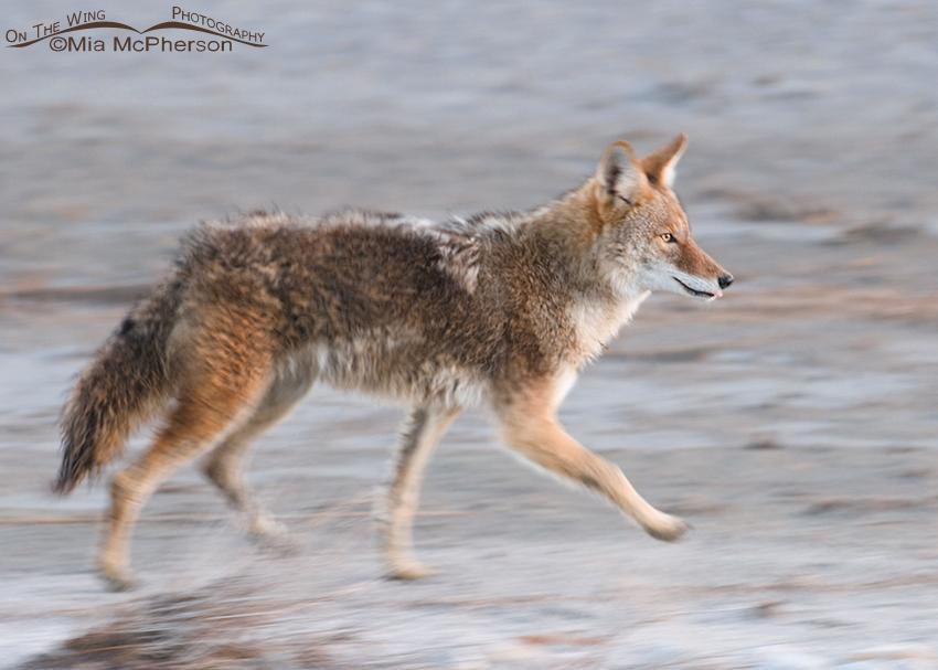 Coyote Blur