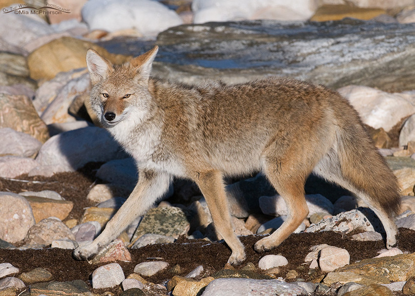 Coyote on the shore of the Great Salt Lake 3
