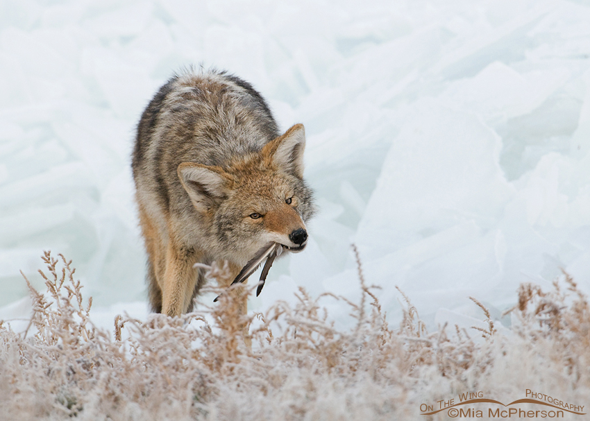 Coyote eating Falcon leftovers