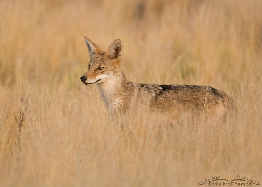 Alert Coyote pup
