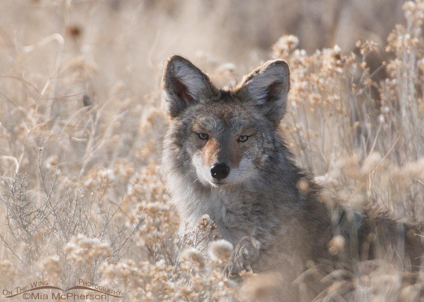 Sidelit Coyote