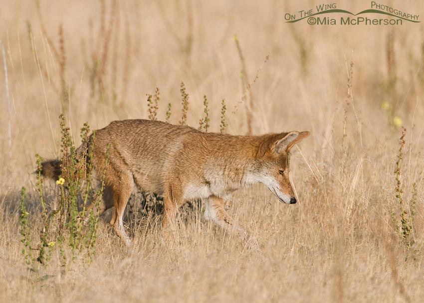 Coyote in its summer coat
