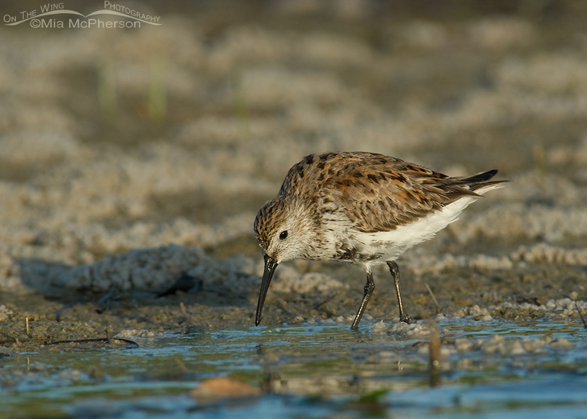 Adult Dunlin feeding