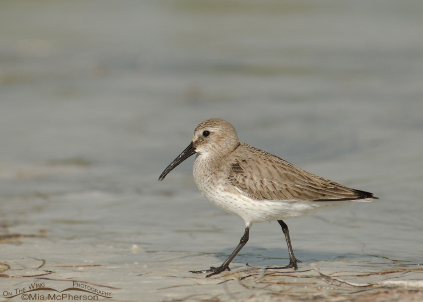 Dunlin in nonbreeding plumage