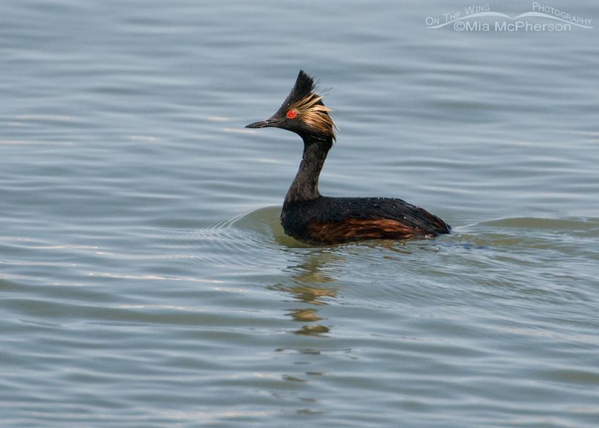 Eared Grebe in breeding plumage