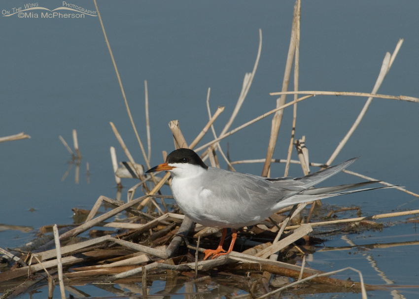 Breeding Forster's Tern on nest